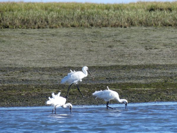 birdwatching Ria Formosa Algarve